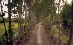 運河に沿った道のユーカリ並木