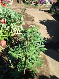 メオ・トライバル・ビレッジ内で栽培されている大麻の葉