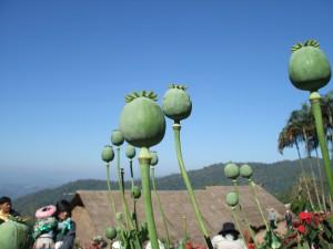 メオ・トライバル・ビレッジないで栽培されている、けしのつぼみ
