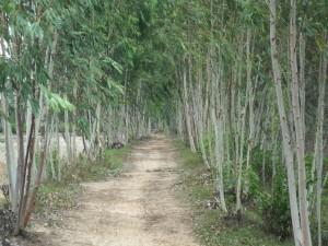 ユーカリ並木