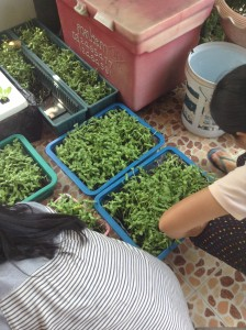 自宅の駐車スペースで豆苗を栽培