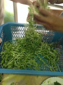 収穫した豆苗を洗浄して袋詰