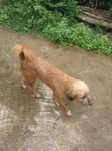 タイの田舎で飼われている犬