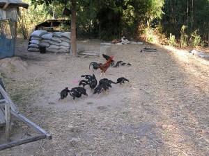 餌を探す鶏の群れ