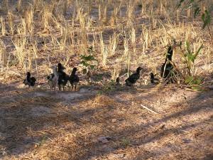 稲を刈り取った後の田んぼで餌を探す鶏