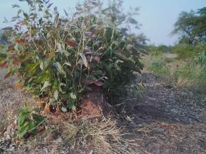 生命力の強いユーカリは伐採しても切り株から新しい芽が出てくる