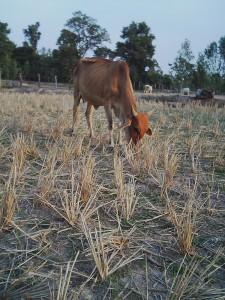 田んぼの稲の残りや生えてきた草を食べます。