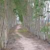 タイ東北部イサーンの農村での、運河沿いのユーカリ並木