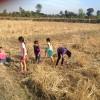 タイ東北部・イサーン地方の稲刈りの終わった田んぼにて