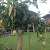 マンゴーの接ぎ木をみて感じたこと