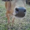 タイ東北部・イサーン地方の農家で飼われる牛